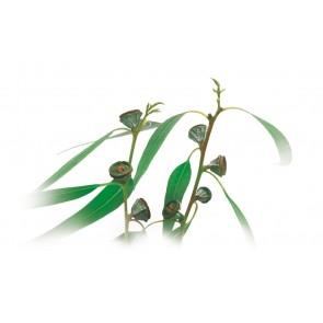 Medisana Aromatična ulja za ovlaživače zraka eukaliptus 10ml